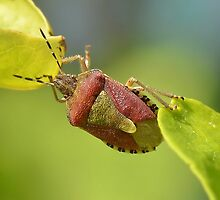 Sloe Bug at a Stretch / Dolycoris baccarum by relayer51