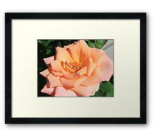 Peaches and Cream Framed Print