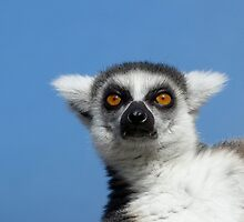 Ring-tailed Lemur In The Winter Sunshine by Margaret Saheed
