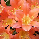 Orange Clivias by Chanzz