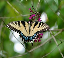 Tiger Swallowtail by Linda Long