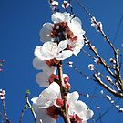 Apricot Blossoms by Chanzz