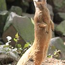 Yellow Mongoose (Cynictis penicillata) nr.2 by DutchLumix