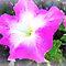 *Avatar/PETUNIA - Enchanted Flowers*