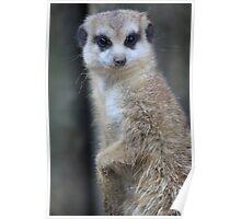 Meerkat or suricate Suricata suricatta Poster