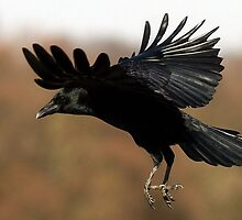 The Carrion Crow by snapdecisions