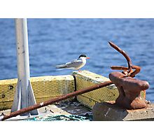 Sitting On The Dock Of The Bay - Arctic Tern Photographic Print