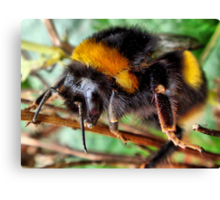 Buff Tailed Bumble Bee Canvas Print
