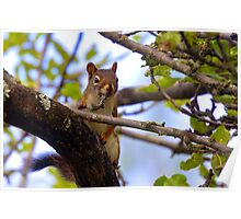 Western Montana Squirrel  Poster