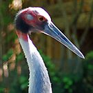 Indian Sarus Crane by Rich Summers