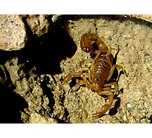 Stripe-tailed Scorpion Photographic Print