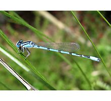 DameselFly ~ Familiar Bluet (Male) Photographic Print