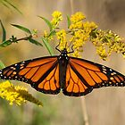 Monarch on Goldenrod - Kanata, Ontario by Stephen Stephen
