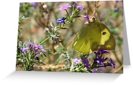 Butterfly ~ Southern Dogface II  by Kimberly Chadwick