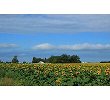 Sunflower Field on the Prairies Photographic Print