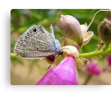 Butterfly ~ Marine Blue Canvas Print