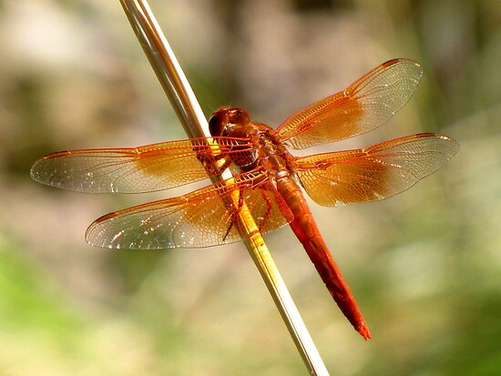 Dragonfly ~ Flame Skimmer (Male) by Kimberly Chadwick
