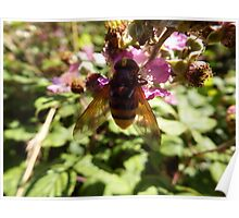 Belted Hoverfly Poster