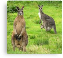 soggy kangaroos Canvas Print