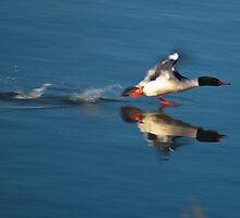 Common merganser taking of of water. by Aler