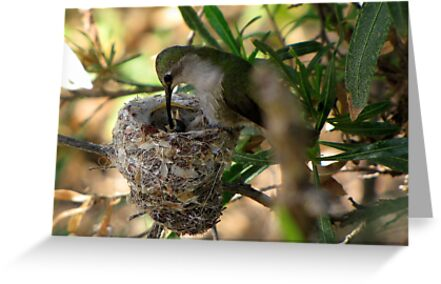 Costa's Hummingbirds  ~ 3 days old ~ 2nd series by Kimberly Chadwick