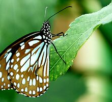 Green Butterfly!! by JYOTIRMOY Portfolio Photographer