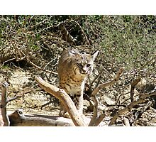 Bobcat Photographic Print