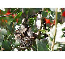 Costa's Hummingbird ~ More Mommy! Photographic Print