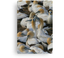 Cape Gannets Canvas Print