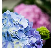 Blue and Pink Hydrangeas Photographic Print