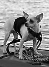 Chihuahua and the Boating Safety Message by Corri Gryting Gutzman