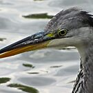Portrait of a Heron by John Thurgood
