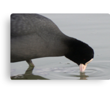 Coot having a drink Canvas Print