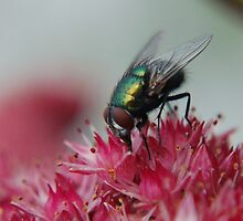 GREEN BOTTLE FLY by RED-RABBIT