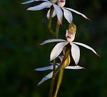 Caladenia gracilis Musky Caladenia by David  Piko