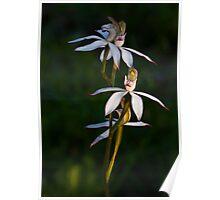 Caladenia gracilis Musky Caladenia Poster