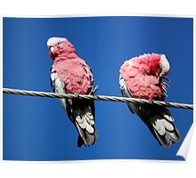 Galahs on a wire Poster