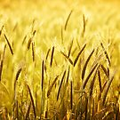 Wheat by BlaizerB