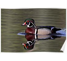 Wood Duck in the sun Poster