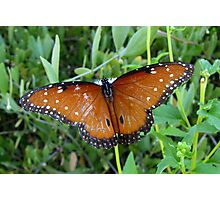 Butterfly ~ Queen Photographic Print