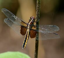 Brown Dragonfly by patti4glory