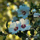 White Rose of Sharon by Rick  Friedle