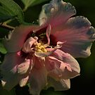 Pale Pink Rose of Sharon by Rick  Friedle