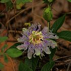 Wild Passion Flower by Rick  Friedle