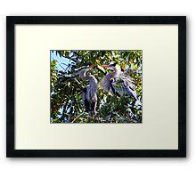 Nesting Great Blue Herons Framed Print