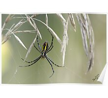 The Black And Yellow Argiope Poster