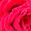 Close-Up of a Rose by Fury Iowa-Jones