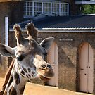 Giraffe by JHMimaging