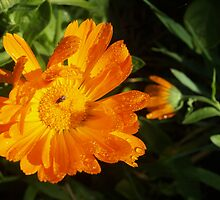 Tasty Marigold - My Garden, Early One Morning by Como