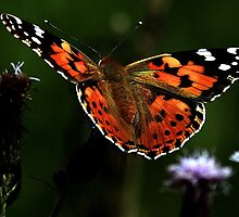 Flight Of The Painted Lady by snapdecisions